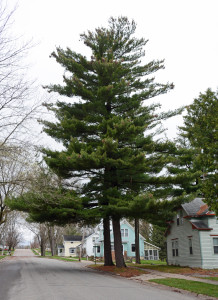 A white pine at Neillsville, Wisconsin, once a Mormon logging settlement.